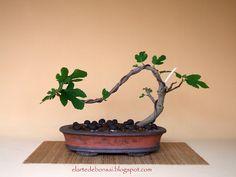 El Arte de Bonsai Ignacio Rguez.: Ficus carica (Higuera)