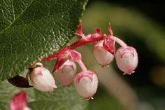 SALAL FLOWERS | Salal (Gaultheria shallon) Shrub