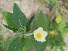 Resultado de imagen para planta nativa sida