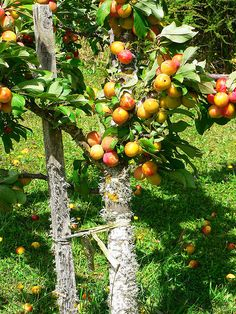 part of the plum tree by Brenda Anderson, via Flickr