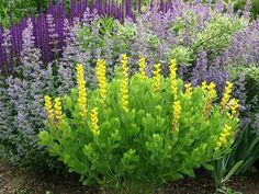 'Screaming Yellow' Baptisia sphaerocarpa with 'Walker's Blue' catmint (Nepeta) and 'Caradonna' salvia.