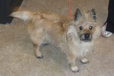 """Max is an adoptable Cairn Terrier Dog in Colorado Springs, CO. Personality I am a very busy boy. I'm slowing down a little bit, now that I'm almost 9 years old, but I don't look or act my age. My favorite toy is a little ball my mom calls """"squeaky"""".  I love to chase it.  When I bring it back, I sometimes play 'keep-away'..."""