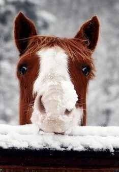 Peek-a-boo! Horse with cute snow covered nose peeking over the fence post. Love his fuzzy warm coat.