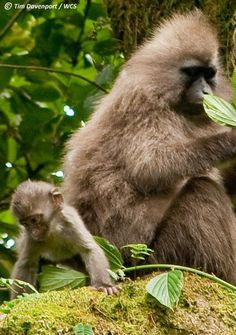 Viruses related to the human immunodeficiency virus (HIV) have infected Old World monkeys as far back as 16 million years ago, according to a new study. The research provides insight into how monkeys evolved and adapted to the simian version of HIV, and why some viruses can jump from one species to another, researchers say.