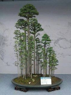 The ancient Japanese art of Bonsai creates a miniature version of a fully grown tree through careful potting, pruning and training. Even if you& not zen enough to labour over your own Bonsai,. Plantas Bonsai, Bonsai Plants, Bonsai Garden, Bonsai Trees, Ikebana, Indoor Garden, Indoor Plants, Bonsai For Beginners, Bonsai Forest