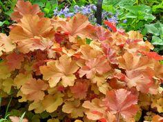 Heuchera 'Caramel' for the fore-border North Facing Garden, Coral Bells, Herbaceous Perennials, Heuchera, Ornamental Plants, Yard Design, Autumn Garden, New Leaf, Backyard Landscaping