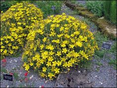 Hypericum olympicum Front Yard Plants, Rock Garden Plants, Plantes Alpines, Extensive Green Roof, Yellow Perennials, Alpine Plants, Plantation, Green Leaves, Green And Grey