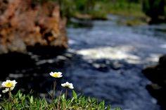 Dryas octopetala, Kiutaköngäs, Oulanka nationalpark