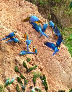 Macaws on Clay Lick, Amazon, Peru