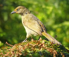 Andropadus importunus - Sombre Greenbul -- Sighted: 5/27/2015 Kirstenbosch Botanical a Garden, Cape Town; Phinda Private Game Reserve, ZA