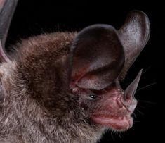 Морды летучих мышей (51 фото)