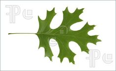 Oak Leaf Clip Art | Red Oak Leaf Isolated, Quercus Rubra Image. Stock Picture To Download ...