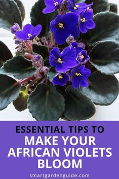 How to make your African Violets bloom again and again. These essential African violet care tips will help keep your plant blooming for longer, and help it bloom again and again. Indoor Flowering Plants, Blooming Plants, Outdoor Plants, Air Plants, Terrarium Ideas, Terrarium Plants, Self Watering Pots, How To Make Terrariums, Saintpaulia