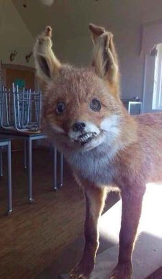 """Derp face Taxidermy - The """"I am never drinking again"""" hangover."""