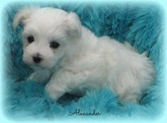 Maltese Puppy~A Gorgeous, Snow White Male!