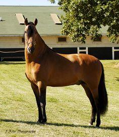 Colombian Paso Fino for Sale | Paso Finos in Canada, El Ranchito Paso Fino Horses in Western Canada ...