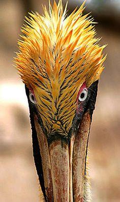 Punk Pelican