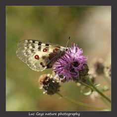 Vlinders mercantour