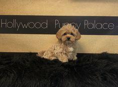 Maltipoo Puppy Palace, Maltipoo, Adoption, Teddy Bear, Puppies, Dogs, Animals, Foster Care Adoption, Animales