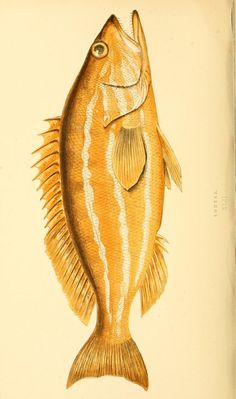 v.1 (1868) - A history of the fishes of the British Islands. - Biodiversity Heritage Library