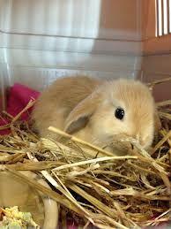 ginger bunny