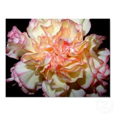Gorgeous Pink and White Carnation
