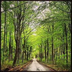 Savernake Forest near Marlborough, Wiltshire. Stunning new foliage. Camp at Postern Hill http://www.campingintheforest.co.uk/england/postern-hill-campsite