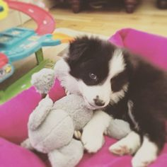 9 week old border collie pup Roxie. Shared with us via our Facebook page courtesy of Milly. #pet #puppy #petstagram #bordercollie #bordercolliefc #blackandwhitedog #dog #dogsofinstagram #cuteness #thatsdarling #weeklyfluff