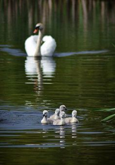 CYGNETS on THEIR OWN, WITH MOM in the BACKGROUND