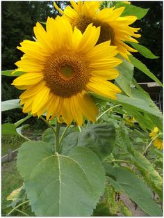 Giant Gray Stripe Sunflower - Part 2 by Angie Ouellette-Tower @ godsgrowinggarden.com