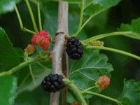 Mulberries in different ripening stages