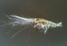 FlyTyingForum.com - JC's Shrimp Fly