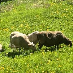 Suloiset maisemanhoitajat, lampaat 2020, ovat saapuneet! Central Park, Elephant, Animals, Animaux, Animales, Elephants, Animal, Dieren