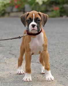 A boxer puppy takes a stance and looks directly into the camera.