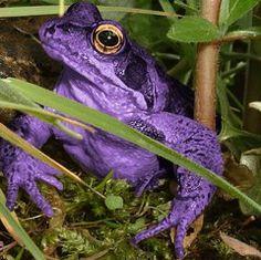 endangered friends: Purple frog