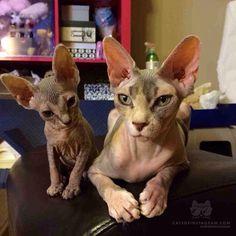 Sphynx cat and kitten, hairless cats