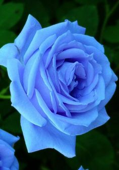 Blue rose - what a beautiful shade, with a hint of violet, too!
