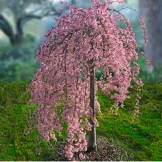 Pink Weeping Cherry Tree...I think this is the tree I keep seeing around. Very cool!