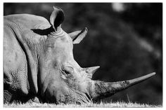 The White Rhino by Joseph Linaschke on 500px