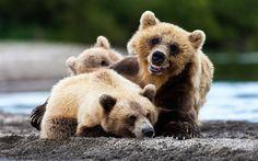 Télécharger fonds d'écran Les ours, les prédateurs, le Kamtchatka, la rivière, ourson, Russie