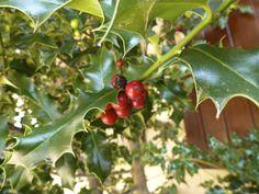ACEBO MÁGICO Una de las especies en peligro de extinción en Europa. Para los celtas, era un arbusto sagrado del que hacían uso durante el solsticio de invierno (época de la Navidad actual) para que les trajera suerte y prosperidad.