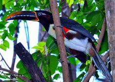 """TUCANO ARAÇARIi-CASTANHO (Pteroglossus castanotis) ♦ em CALDAS NOVAS /  Góias - Brasil. by GILVANDRO GURGEL """"Vera re te"""", via Flickr"""
