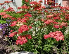 Yarrow is one of my very favorite summer plants. The fern like greenery with all the different color blooms is a plant waiting for me to winter sow or buy!