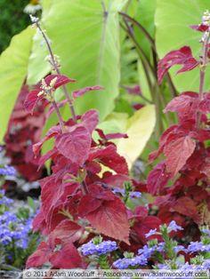 Colocasia 'Elena', Solenostemon x 'Sedona', Scaevola aemula 'Outback Purple Fan'