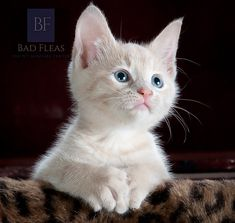 Funny Cats and Cute Kittens - Meow Moe Cute Kittens, Cats And Kittens, Cats Bus, Siamese Cats, Cats Meowing, Baby Kittens, Sphynx Cat, Baby Dogs, Pet Dogs