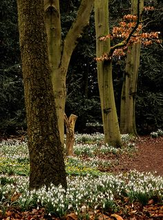 Snowdrops and winter aconites at Anglesey Abbey Winter Gardens, Cambridgeshire, England.