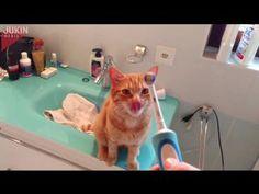 Этот кот просто обожает массаж от электрической зубной щетки :))) - В мире животных
