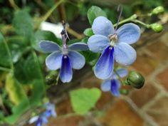 http://jungletropicale.com/2013/05/rotheca-myricoides/