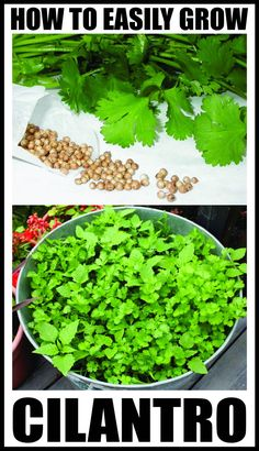 We have a very simple method for growing your own Cilantro in a continuous easy way. This method shows you how-to by starting the seeds in your home first and avoiding the hot direct sun in the very beginning. Steps To Easily Grow Cilantro Growing Veggies, Growing Herbs, Cilantro Growing, Growing Coriander, How To Grow Coriander, How To Grow Cilantro, Horticulture, Vegetable Garden, Garden Plants