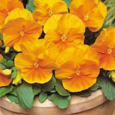 Producing bright orange pansies on a superbly shaped plant, Pansy matrix orange is a great source of winter colour.  These winter pansies are taken from the Matrix series, the best performer in our trials.    Flowering for longer than normal winter pansies, this variety not only resists stretching but produces large blooms on compact, well shaped plants.  When combined with other colours from the Matrix range, they'll flower at roughly the same time and grow to a very similar size - perfect…